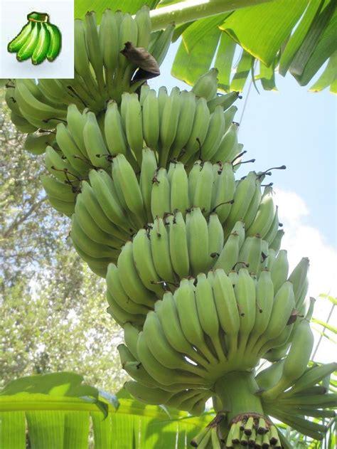 banana fruit tree musa rajapuri banana tree abc s of musaceae banana