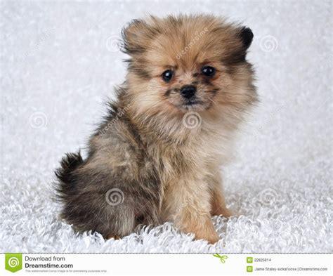 pom pom puppies puppies babies puppies puppy