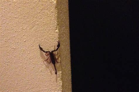 scorpione in casa trovato uno scorpione in casa in centro a chivasso