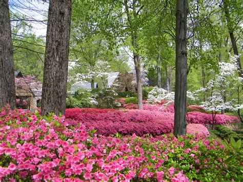 the spectacular north carolina azaleas flowergardengirl