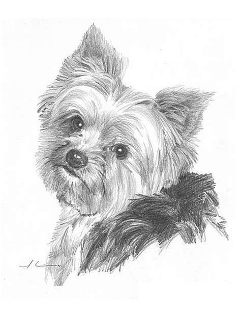 how to yorkies how to draw yorkie