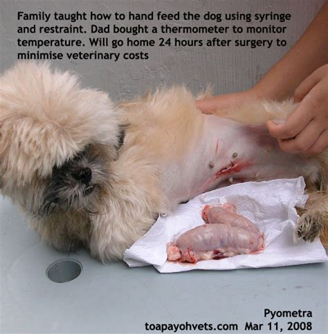 pyometra in dogs 20070406about toa payoh vets singapore toa payoh veterinary surgery animal doctor