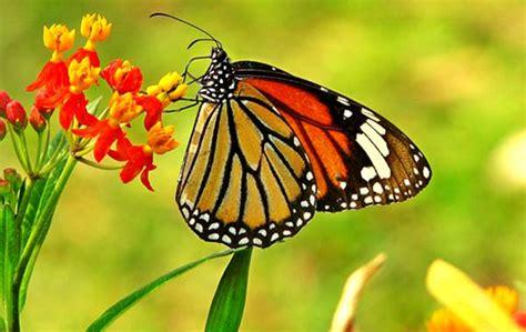 wallpaper bunga dan kupu kupu pengetahuan alam kita metamorfosis kupu kupu