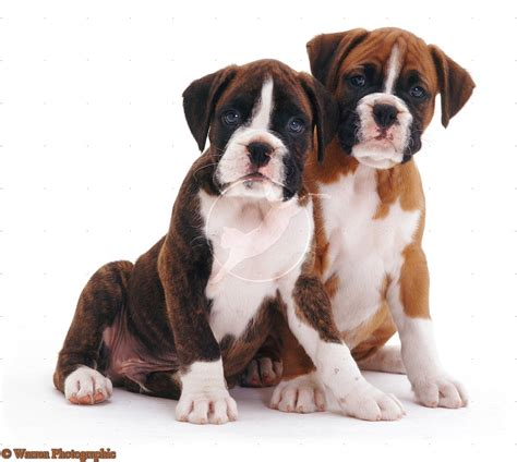 brindle boxer puppies dogs brindle boxer puppies