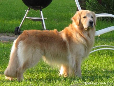 largest golden retriever large breeds with low shed breeds picture
