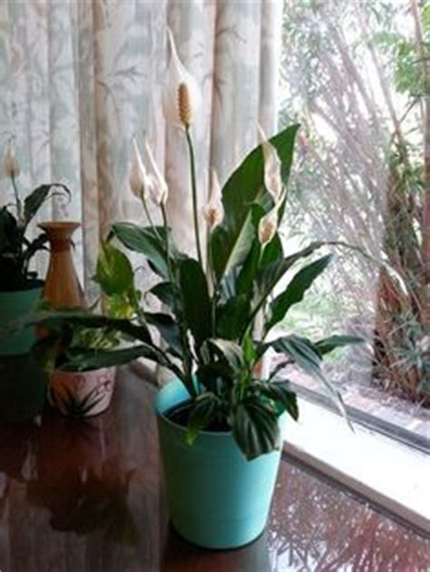 1000 ideas about peace lily on pinterest spider plants 1000 ideas about peace lily on pinterest lily care