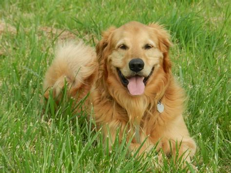 picture of golden retriever golden retriever espa 241 a picture