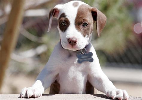 raising a pitbull puppy 10 adorable pitbull puppies who re ready to your mind