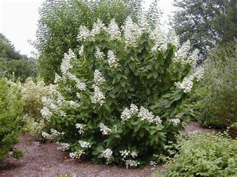 Hortensie Wims by Hydrangea Paniculata Ortensia Caratteristiche Dell