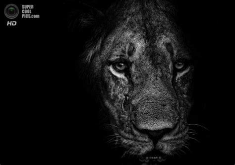 imagenes de leones a blanco y negro salvaje y maravilloso p 225 gina 1