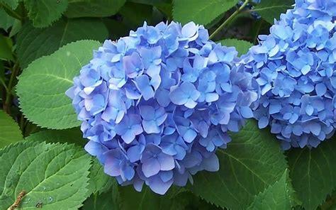 how to grow hydrangea the garden of eaden