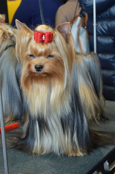 grooming your yorkie at home cost effective ways to take care of your yorkie