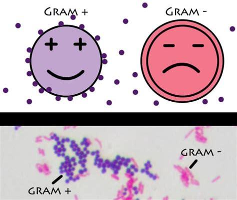 imagenes gram positivos diferencia entre bacterias gram positivas y gram negativas