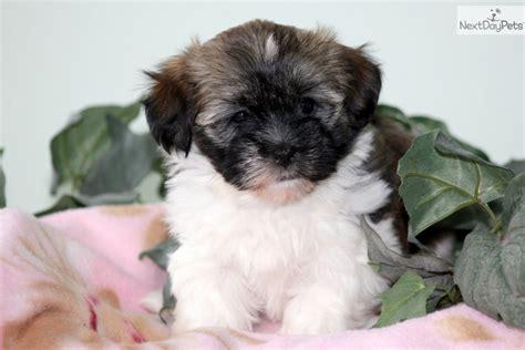 havanese breeders pa havanese puppies in pa breeds picture