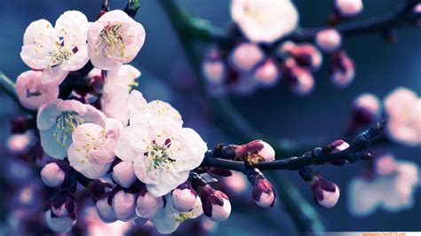 blossom cherry picture 20 asian cherry blossom flower wallpapers wallpaper