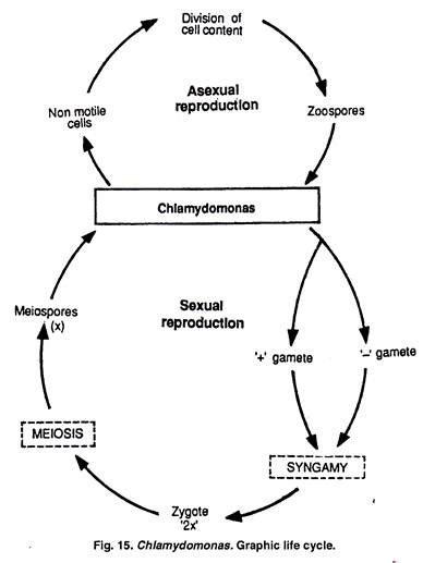 chlamydomonas cycle diagram cycle of chlamydomonas with diagram