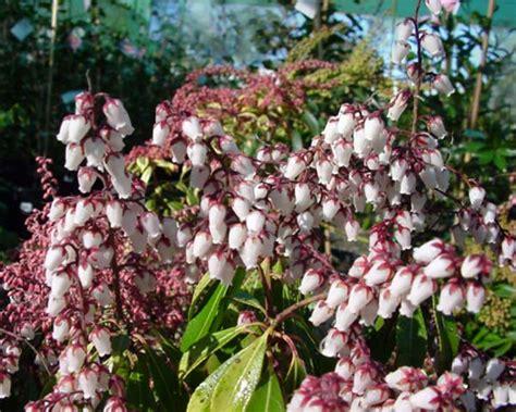 pieris japonica valley gardensonline pieris japonica valley
