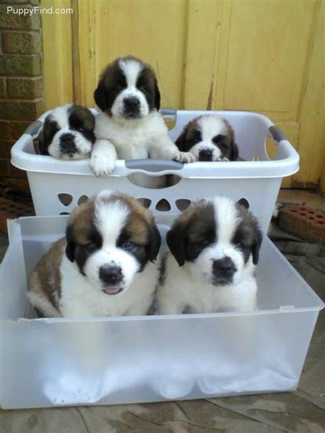 st bernard puppies for sale in nc 1 bernard for sale in statesville