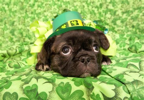 st patricks day pug st s day pug pictures photos and images for