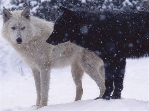 White Wolf And Black Wolf 1600x1200 Wallpapers Wolf | white wolf and black wolf 1600x1200 wallpapers wolf