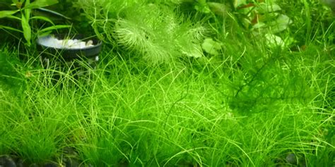 hair grass aquascape hair grass aquascape proper way to grow dwarf hair grass