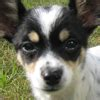 Chelsea Chion 2 chion chihuahua and papillon mix pictures and information
