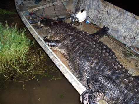 gator on the rise gator sightings on the rise in florida page 6 teamtalk