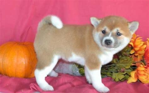 shiba inu puppies for sale in michigan shiba inu puppy for sale handmade michigan
