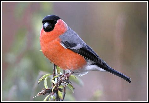 orange breasted bird www pixshark com images galleries