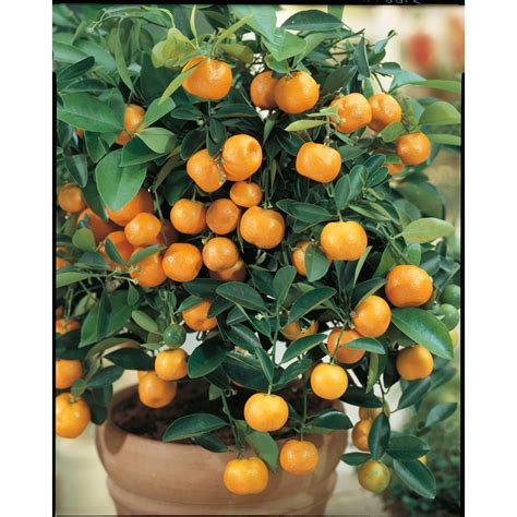 fruit trees at lowes shop 3 25 gallon semi calamondin tree lw00032 at