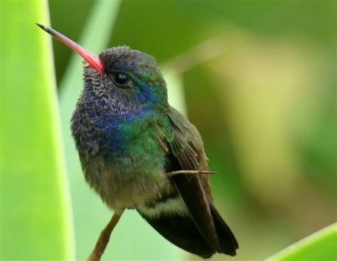 bee hummingbird facts habitat diet life cycle baby