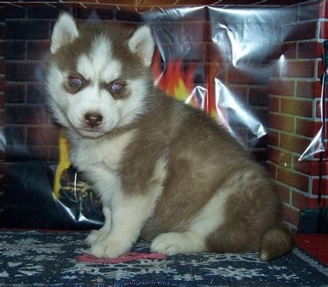 husky puppies for sale oahu pets mililani town hi free classified ads