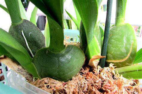 manutenzione orchidee in vaso come coltivare le orchidee orchidee come coltivare le