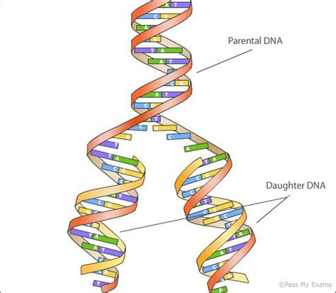 dna replication diagram new dna and dna replication pass my exams easy