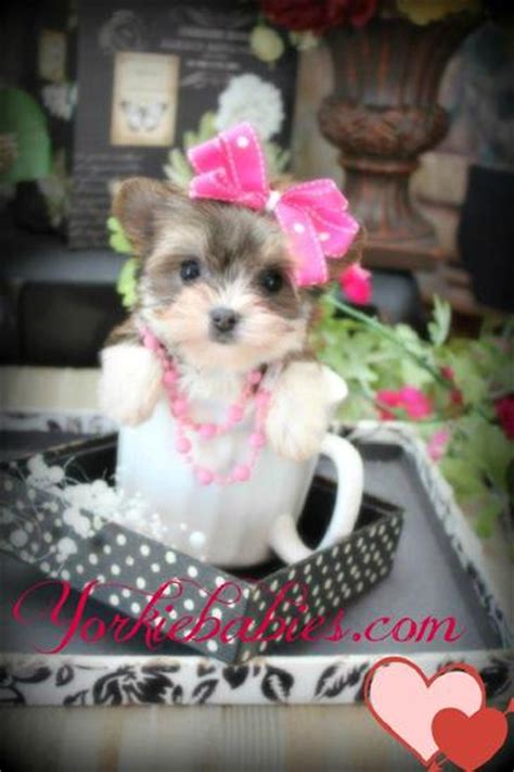 teacup yorkie white white and black teacup yorkie www pixshark images galleries with a bite