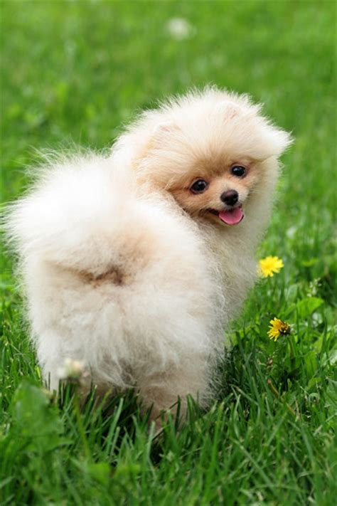miniature teddy pomeranian puppies teacup poodle puppy cut breeds picture