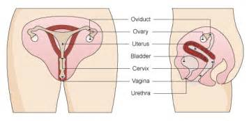 reproductive archives human anatomy charts