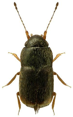 images of term or its descendants | uk beetle recording