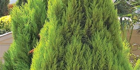 Plants Low Light by Top Ten Conifers For Your Garden