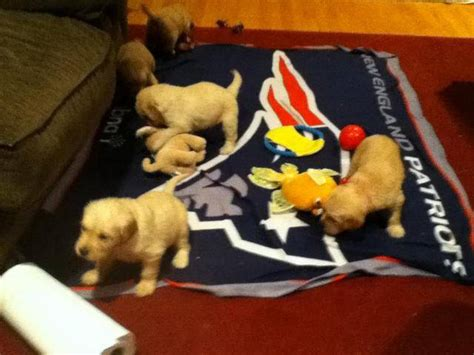 puppies for sale in worcester ma golden retriever puppies for sale adoption from douglas massachusetts worcester