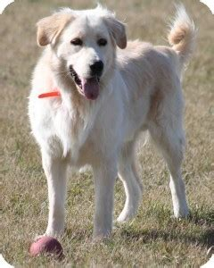 maremma golden retriever mix benny adopted morden mb maremma sheepdog labrador retriever mix