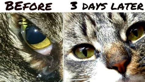 25 best ideas about cat eye infection on pinterest cat