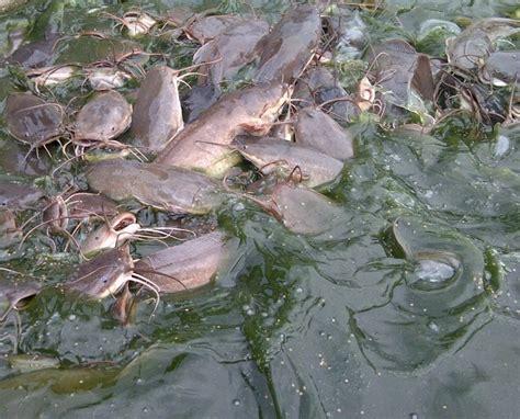 Bibit Lele Sangkuriang Hari Ini budidaya lele ternak lele ikan lele kolam lele the