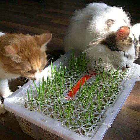 1pack Tanaman Rumput Kucing Cat Grass jual cat grass seeds bibit rumput makanan kucing bunga unik