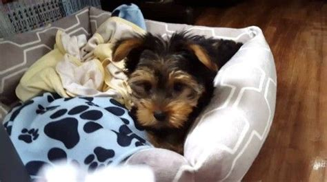 how to teach a yorkie to roll 32 best images about yorkie puppies on growing up terrier