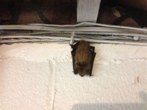 how to get rid of bats in basement micros help desk