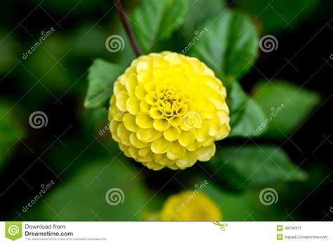 fiore a palla fiori gialli a palla stratfordseattle