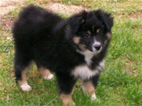australian shepherd puppies nc miniature australian shepherd puppies in carolina