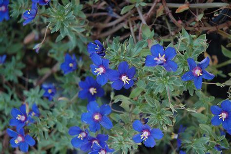 angie blue pimpernel anagallis monelli angie blue