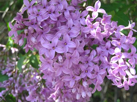 lilac flower meaning the victorian language of flowers is surprisingly